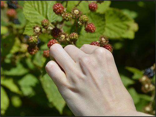 14527186957_5261c98c38_picking-blueberries