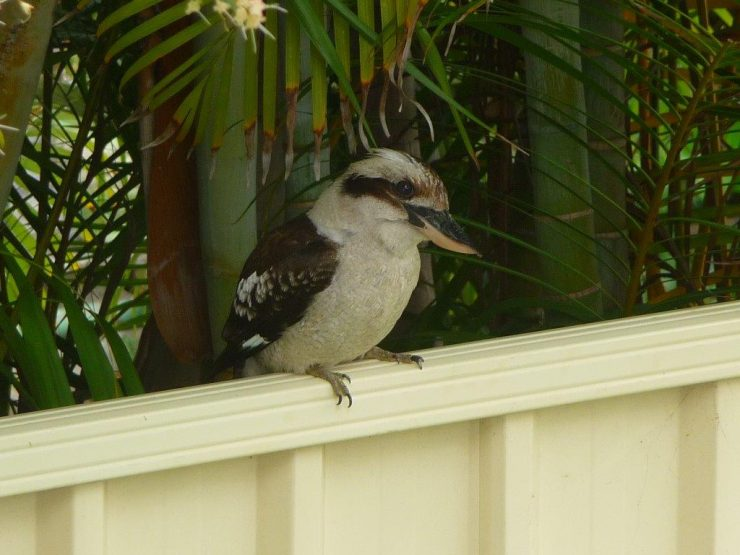 Cookie the Kookaburra