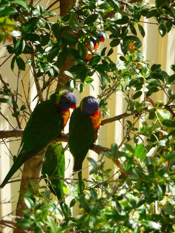 My Lovebugs with their baby - the Lorikeets