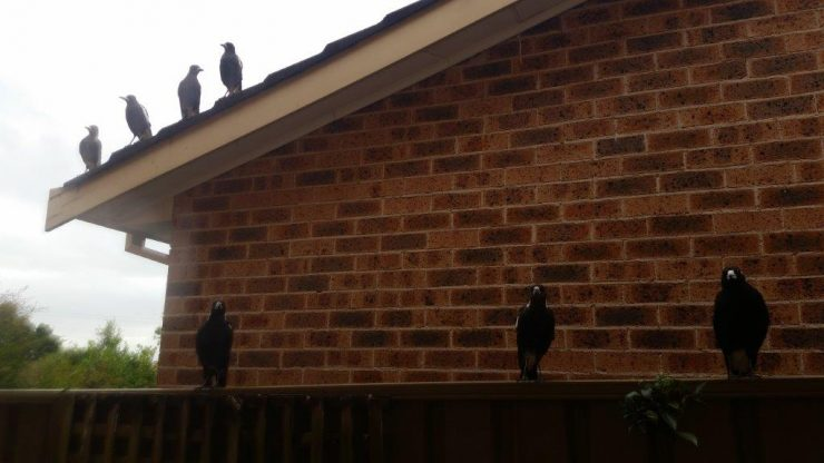 My Magpies - meat time!